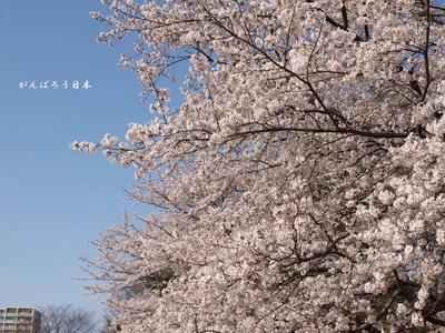 1004sakura02.jpg